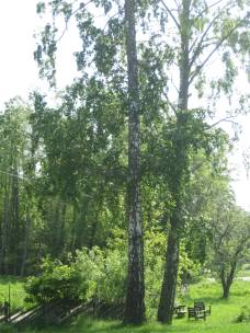 Sommarbjörk juni 2013