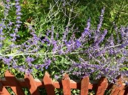 Blå blommor och rött staket i koloniträdgård