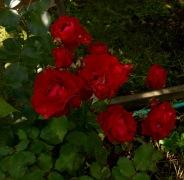 Mörkröda rosor i koloniträdgård