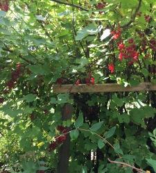 Röda vinbär i koloniträdgård