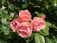 Rosa rosor i koloniträdgård