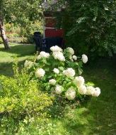 Vita blommor i koloniträdgård